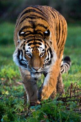 Image Tigre de Sibérie