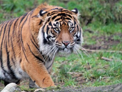 Image Tigre de Sumatra