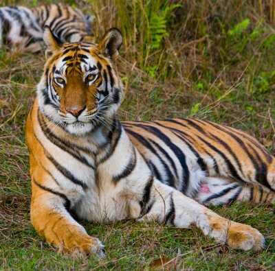 Image Tigre sauvage couché sur l'herbe. Inde. Parc national de Bandhavgarh. Madhya Pradesh. Une excellente illustration.