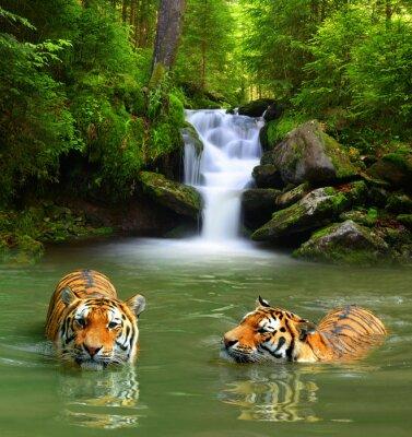 Image Tigres de Sibérie dans l'eau