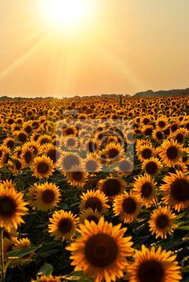 non tissé-Fleur-champs papier peint Panorama Soleil Photo murale-Tournesol 566 V