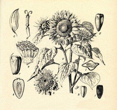 Image Tournesol commune (Helianthus annuus)
