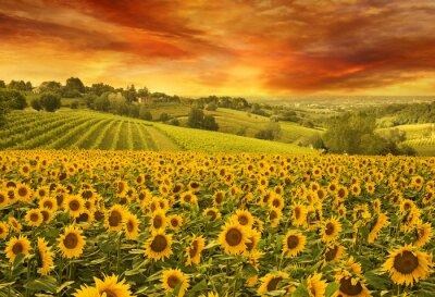Image Tournesols, champ, italien, colline, Coucher soleil