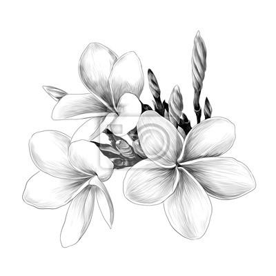 Trois Magnolia Fleur Croquis Graphiques Vectoriels Dessin Monochrome