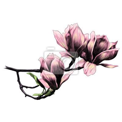 Trois Magnolia Fleur Croquis Vecteur Graphiques Couleur Image