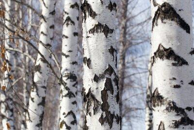 Image tronc de bouleau dans la nature
