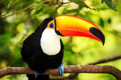 Image Tucan coloré dans la volière