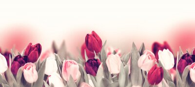 Image Tulip colorful flower panoramic border on white