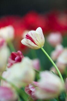 Image Tulipe