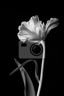 Image Tulipe de perroquet floraison dramatique classique monochrome belle sur un fond noir.
