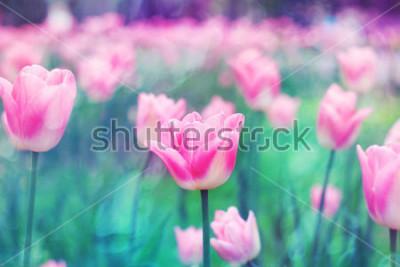 Image Tulipes de fleurs roses éclairées par la lumière du soleil. Mise au point sélective douce, tonique. Fond de photo coloré brillant