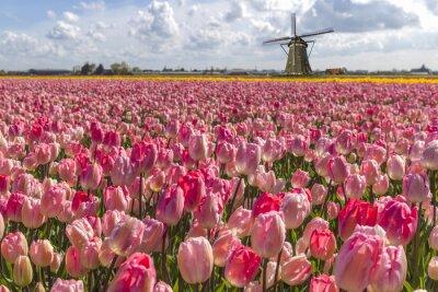 Image Tulipes hollandaises emblématique ampoule ferme au printemps à Amsterdam
