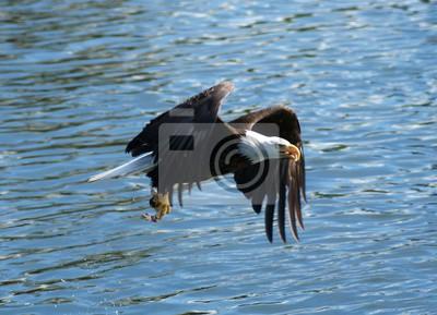 Image Un aigle chauve volant au-dessus des eaux de l'Alaska.