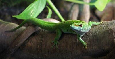 Image Un Gecko vert, perché sur une branche