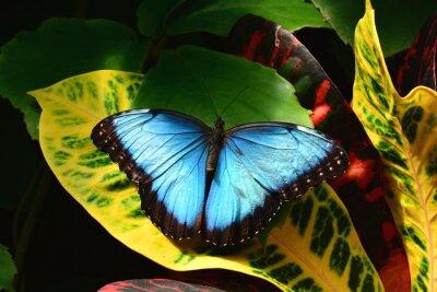 Image Un joli bleu terres morpho papillons dans les jardins de papillons.