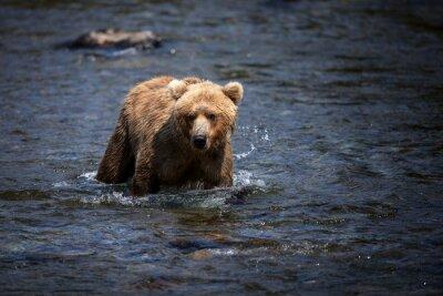 Image Un ours brun d'Alaska traverse la rivière Brooks à la recherche de saumon.
