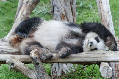 Image Un panda géant endormi