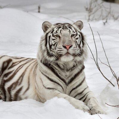 Image Un tigre de bengal blanc, calme couché sur la neige fraîche. Le plus bel animal et la plus dangereuse bête du monde. Ce rapace sévère est une perle de la faune. Portrait de visage d'animal.