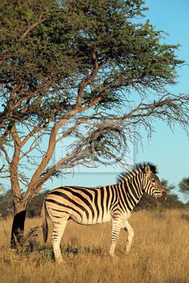 Un zèbre de plaines (Burchells) (Equus burchelli) dans l'habitat naturel, Afrique du Sud.