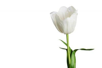 Image Unique, blanc, tulipe, isolé, blanc, fond, horizontal