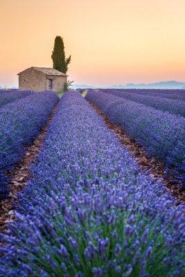 Image Valensole, Provence, France. Champ plein de fleurs pourpres de lavande
