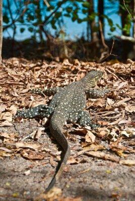Image Varan dans les Whitsundays