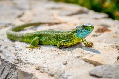 Image Vert, émeraude, gecko, lézard, bains de soleil, rocher