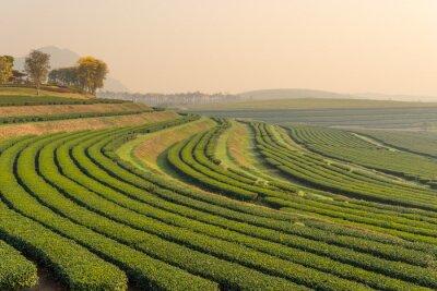 Image Vert, thé, ferme, modèle, matin