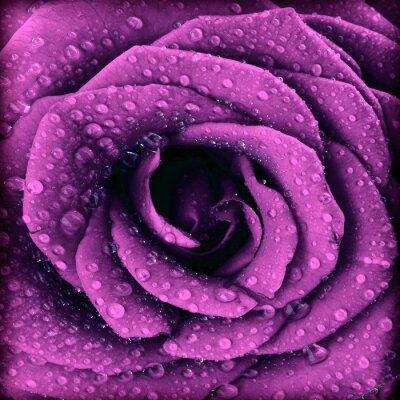 Image Violet foncé fond rose