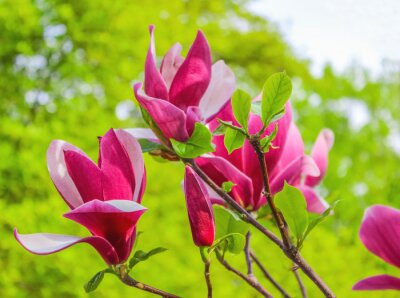 Image Violet, magnolia, fleur, branche, fond