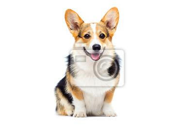Image welsh corgi breed dog sitting on a white background