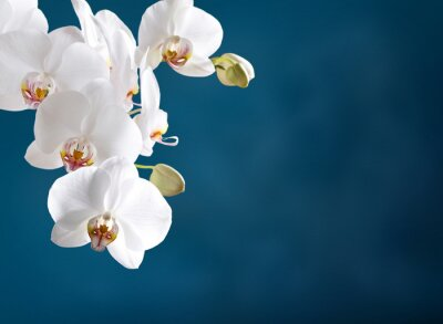 Image White orchid