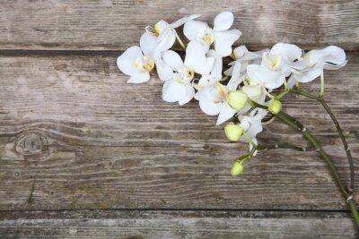 Image White orchid (Phalaenopsis)