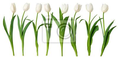 Image white Tulips