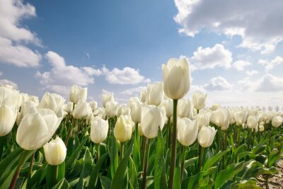 Image white tulips close up outdoors