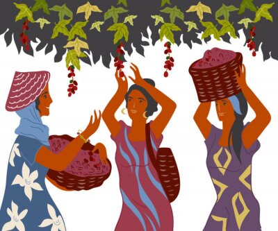 Image Women with basket pick coffee beans from the bush on plantation, image for cafe and packaging. Coffee harvest gatherers in work flat cartoon vector illustration isolated on white background.