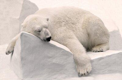 Image Белый медведь спит.