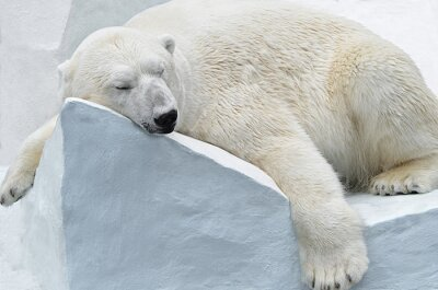 Image Медведь Белый.