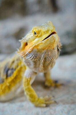 Image Yelow dragon barbu