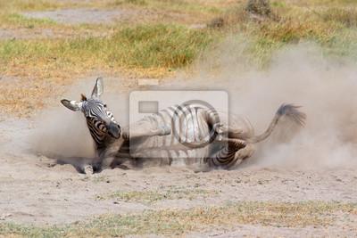 Zèbre de plaine (Equus burchelli) roulant dans la poussière, parc national d'Amboseli, Kenya.