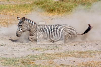 Zèbre des plaines roulant dans la poussière