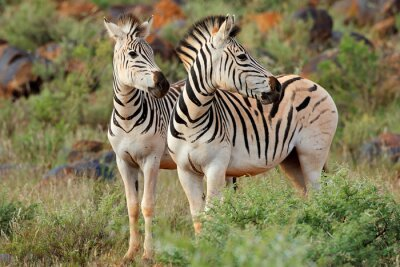 Zèbres de deux plaines (Burchells) (Equus burchelli) dans l'habitat naturel, Afrique du Sud.