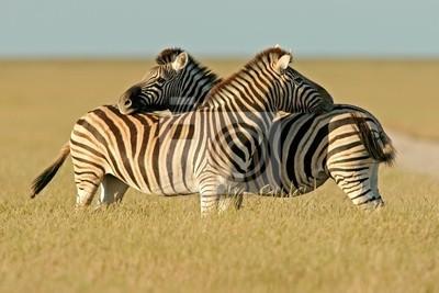 Image zèbres des plaines