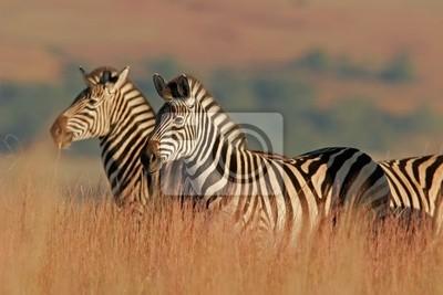 zèbres des plaines