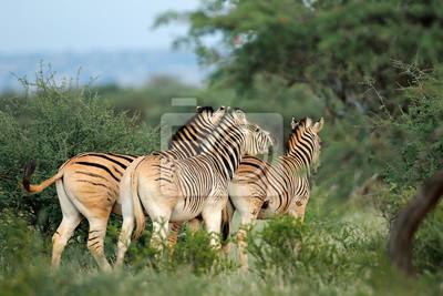 Zèbres des plaines (Burchells) (Equus burchelli) dans leur habitat naturel, Afrique du Sud.