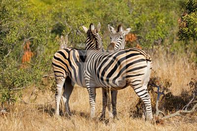 Zèbres des plaines (Equus burchelli) dans leur habitat naturel, parc national Kruger, Afrique du Sud.