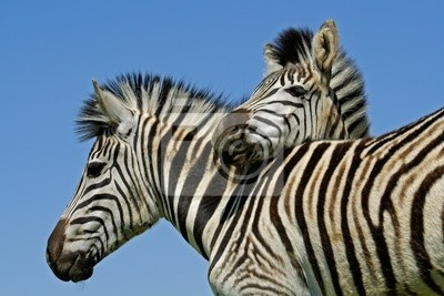 Zèbres des plaines (Equus quagga)