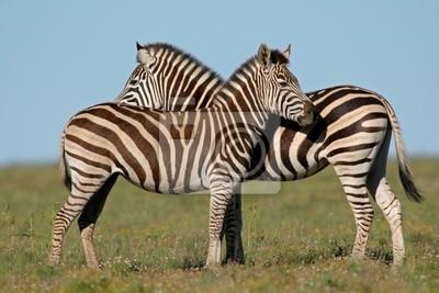 zèbres des plaines (Equus zebra)