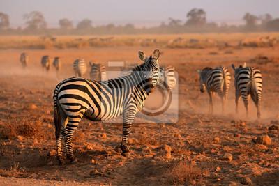 Zèbres des plaines, le parc national d'Amboseli