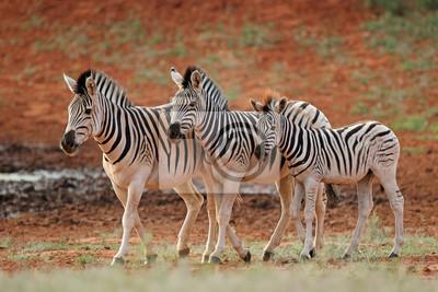 Zèbres des trois plaines (Equus burchelli) dans leur habitat naturel, Afrique du Sud.